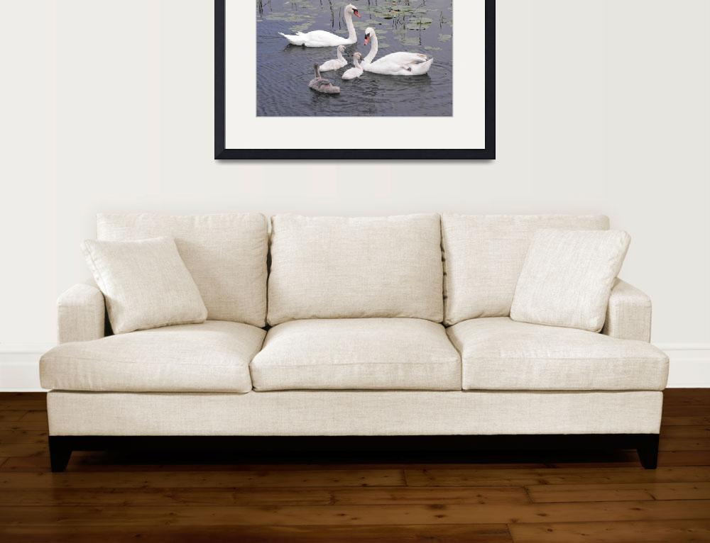 """""""Mute Swan Family in Water&quot  (2008) by mikes-space"""