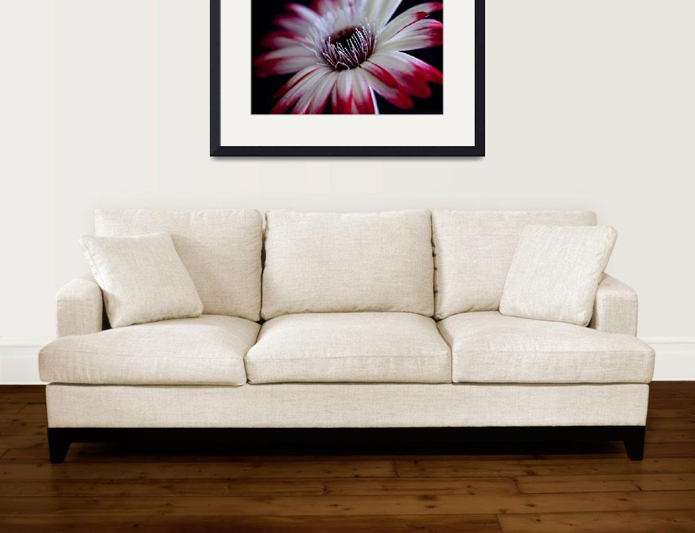 """""""Red and White Gerbera Daisy on Black""""  (2009) by dawnleblanc"""