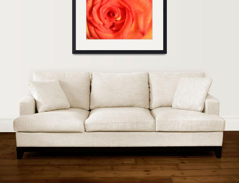 """""""Red and Yellow Blooming Rose""""  (2015) by rhamm"""