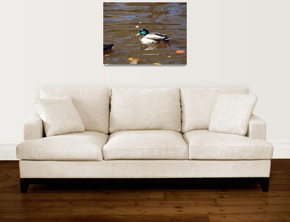 """Colorful male mallard duck&quot  (2008) by Albertphoto"