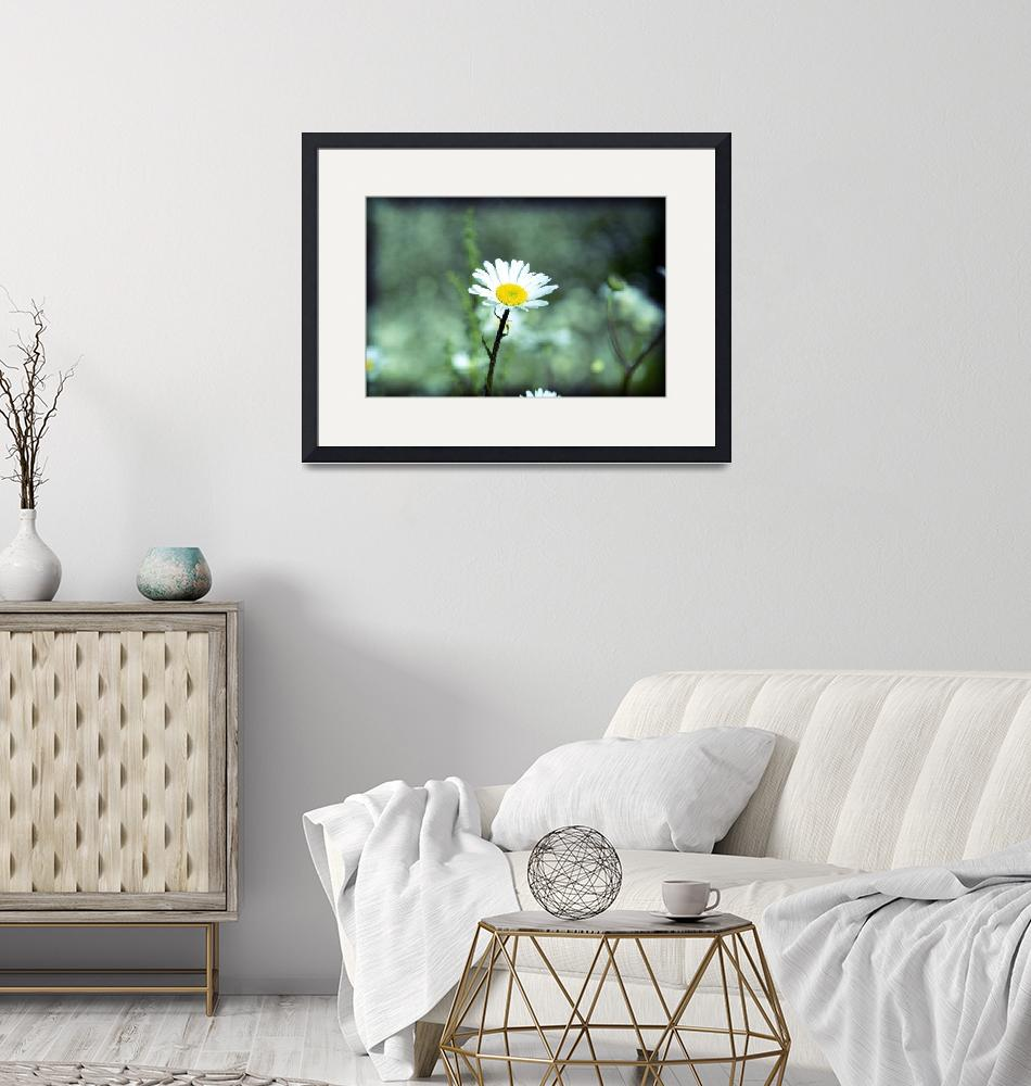 """""""Lonely Daisy""""  by tomgnt"""