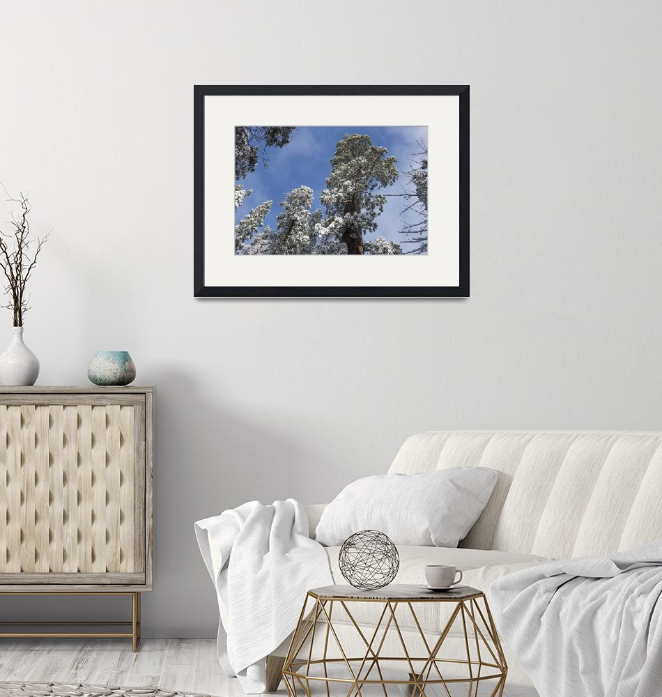 """""""Snowy Sequoia Branches""""  (2019) by SederquistPhotography"""