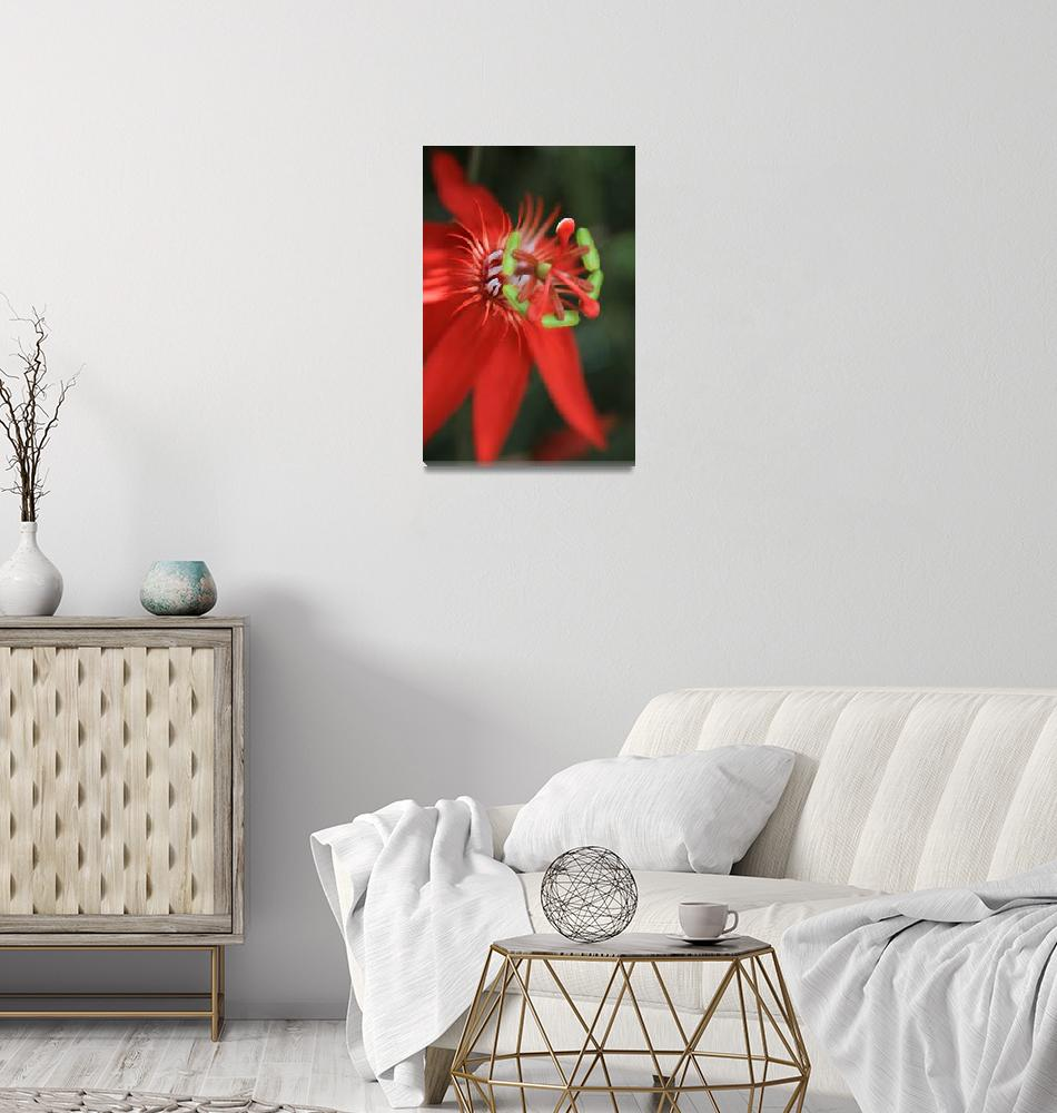 """Passiflora vitifolia Scarlet Red Passion Flower""  (2011) by sharonmau"