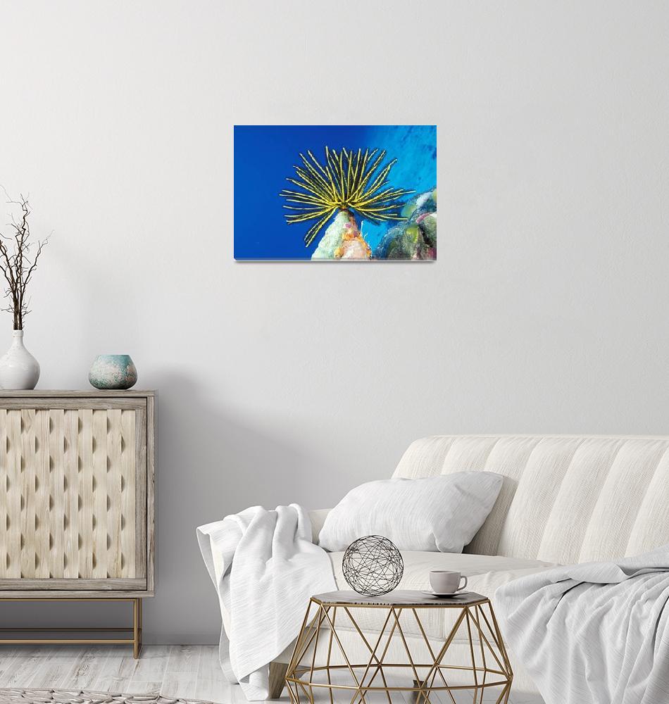 """Micronesia, Bright Yellow Crinoid, Blue Ocean""  by DesignPics"