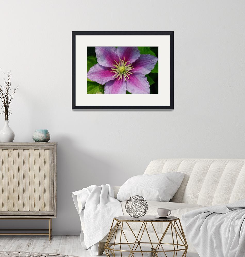 """""""Clematis - Piilu""""  by SolacePointe"""