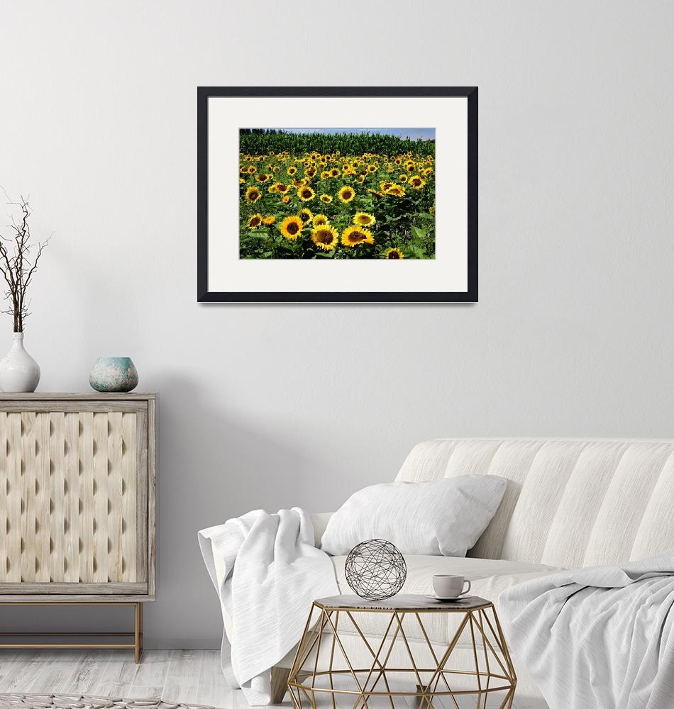 """""""sunflowers-5793""""  by CaptureLife"""