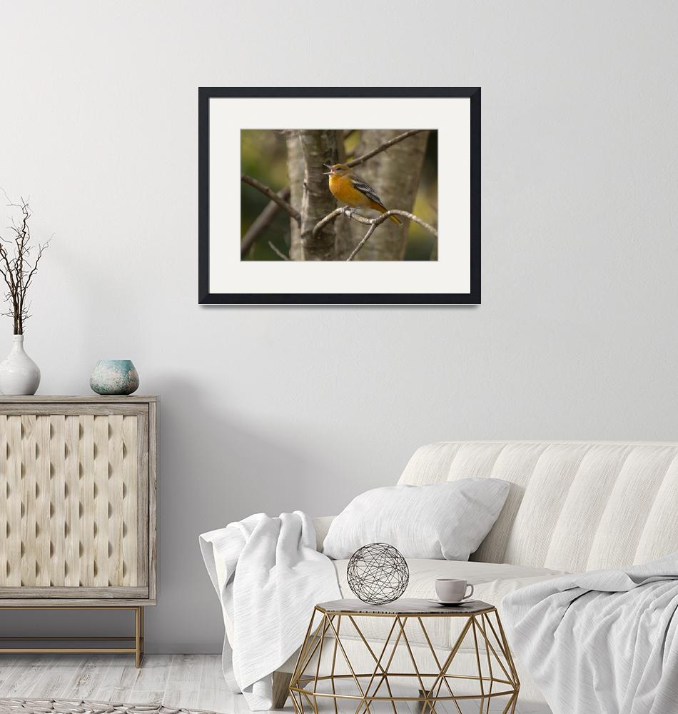 """""""Female Baltimore Oriole""""  (2018) by NatureAsArt"""