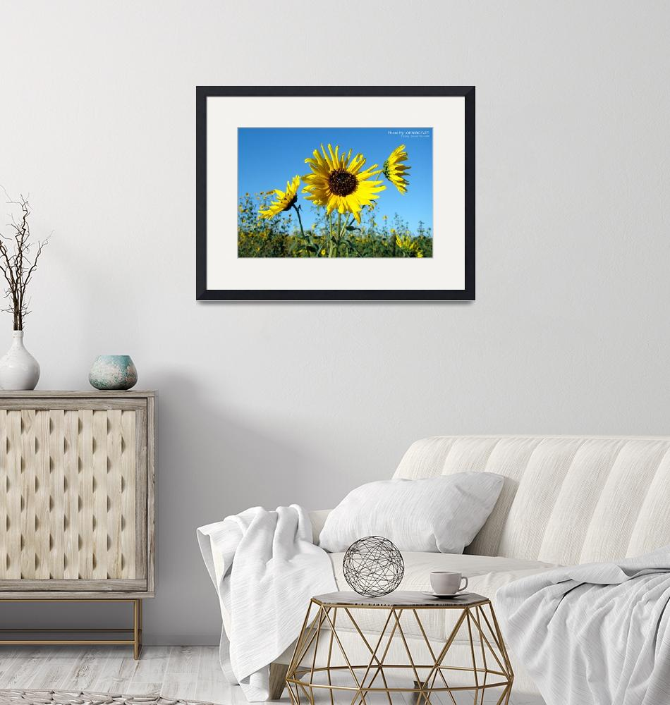 """""""Sunflowers, 16 Sept 2008 (1)""""  by photographybyROEVER"""