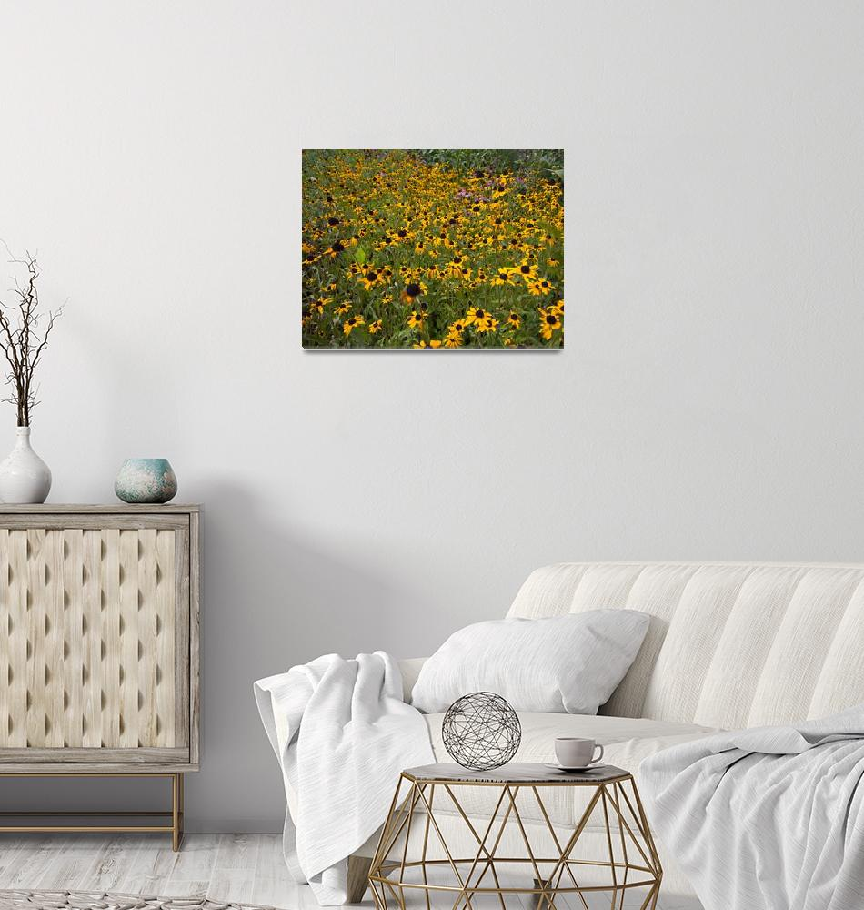 """""""Brown-eyed Susans""""  by happysights"""