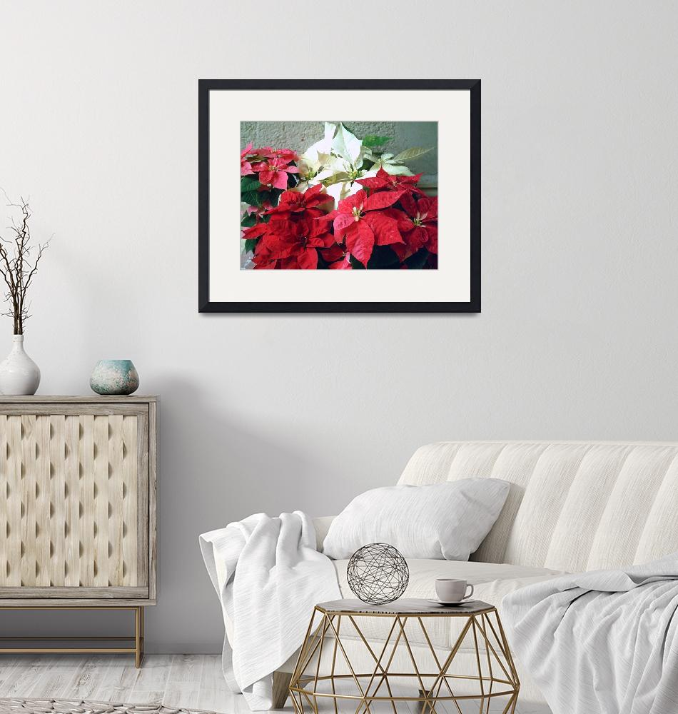 """""""Mixed color Poinsettias 3""""  (2007) by ChristopherInMexico"""