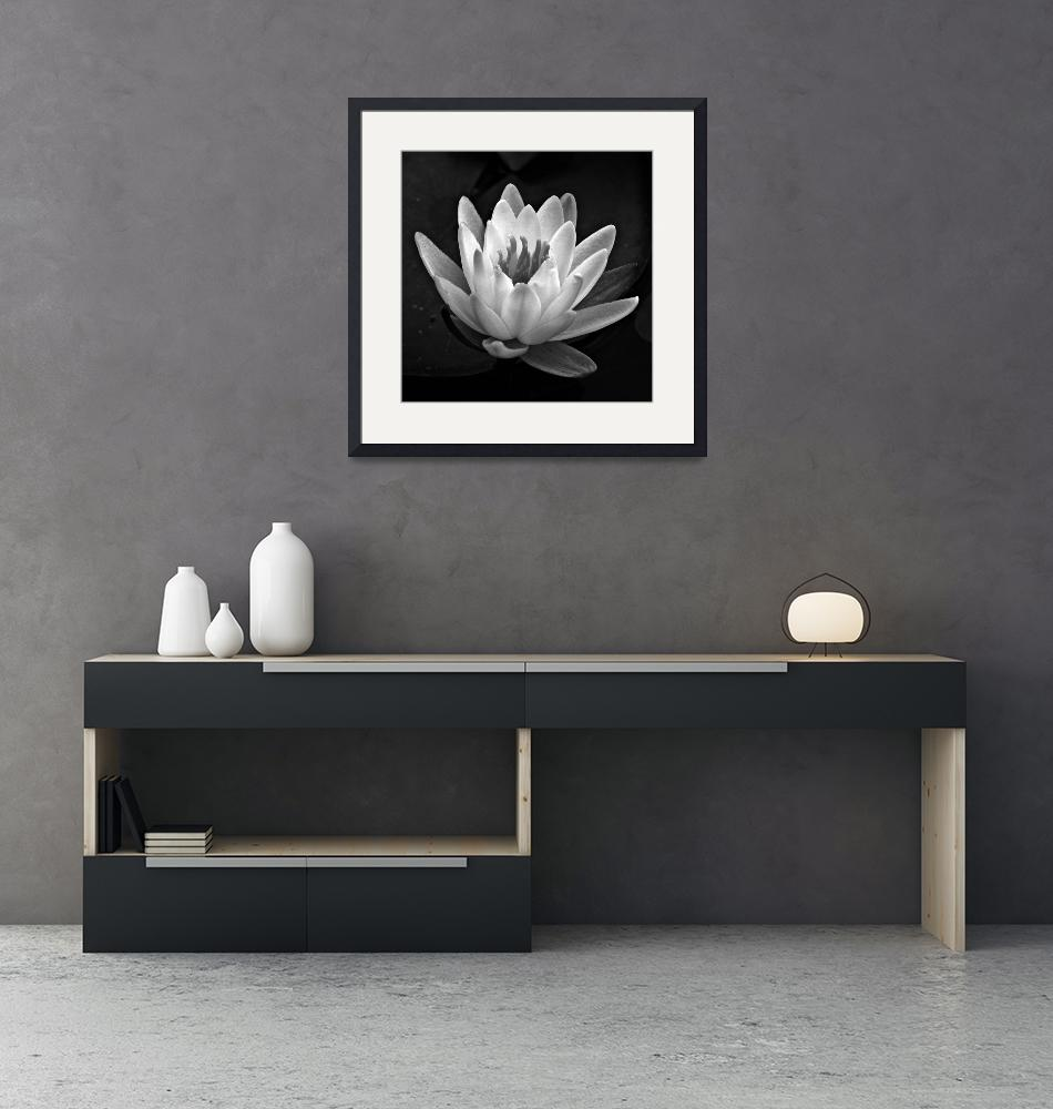 """Water Lily In Black And White ll""  (2010) by bavosiphotoart"