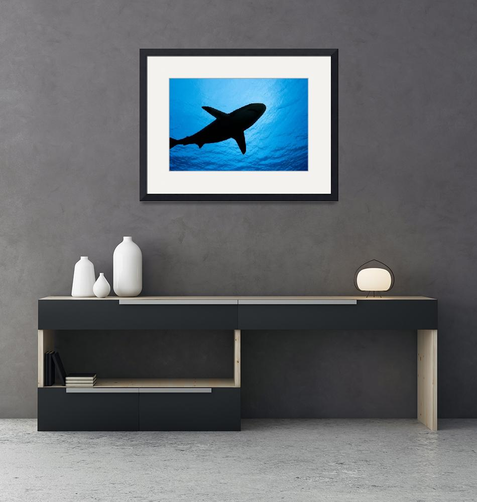 """Micronesia, Yap, Silhouette Of A Grey Reef Shark""  by DesignPics"