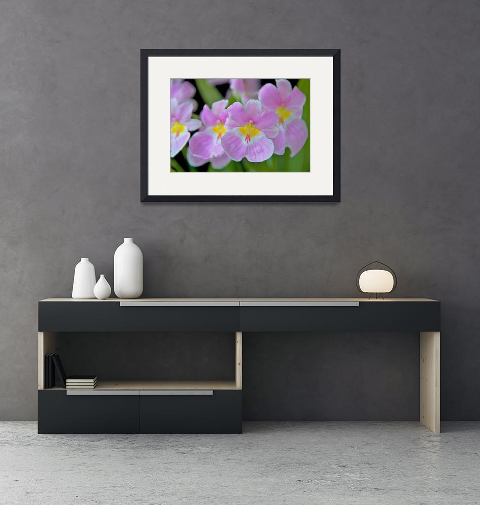 """Miltoniopsis Vexillaria""  (2009) by ImageArt-Photography"