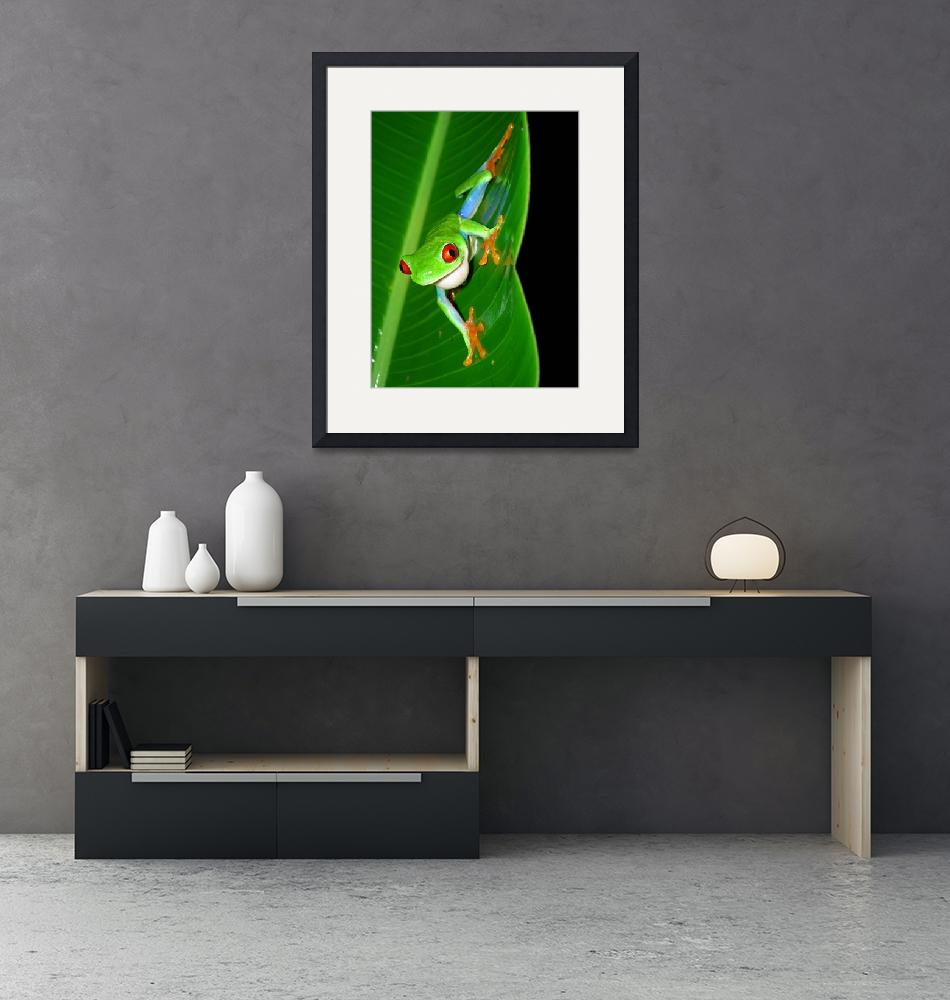 """""""Red-Eyed Tree Frog""""  by ccsg51"""