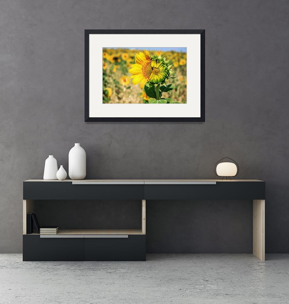 """""""Beautiful landscape with sunflower field""""  (2015) by DragomirPhotography"""