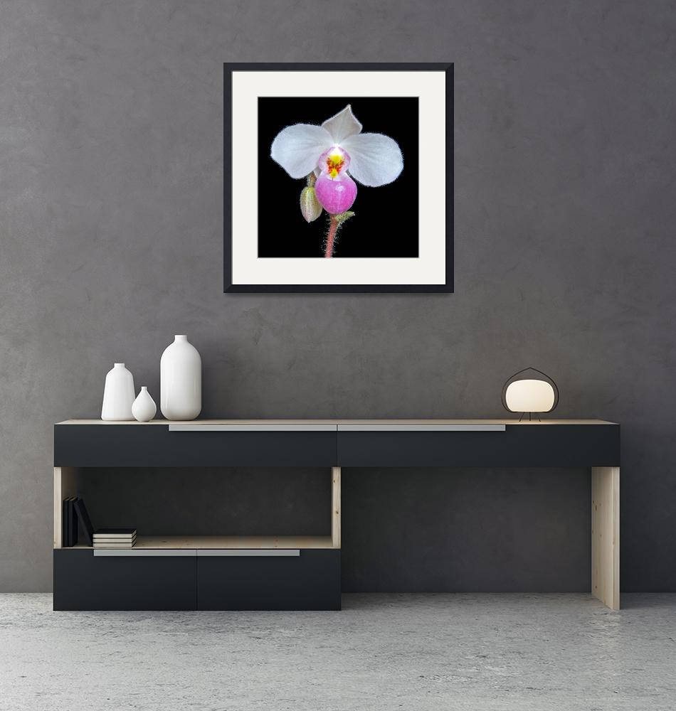 """Paphiopedilum Delenatii""  (2009) by ImageArt-Photography"