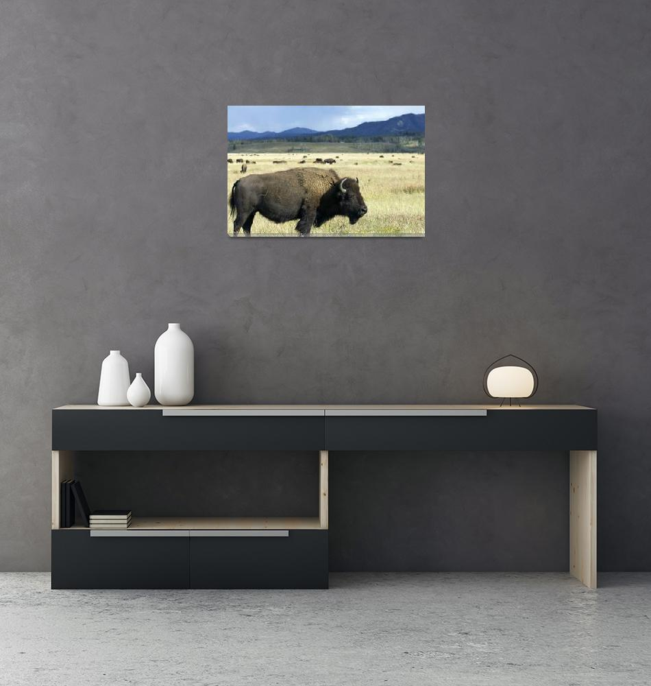 """Buffalo in Teton National Park""  (2011) by DustinKRyan"