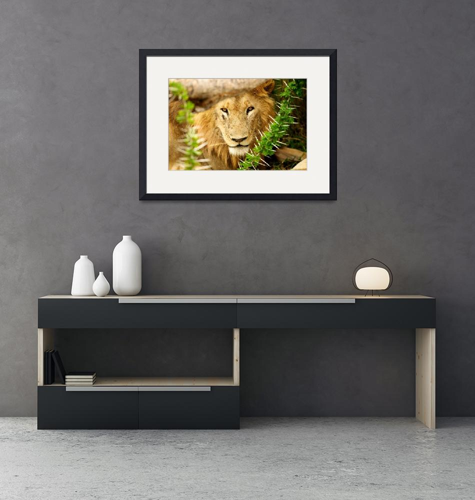 """""""Lion in Acacia""""  (2010) by BSpero"""