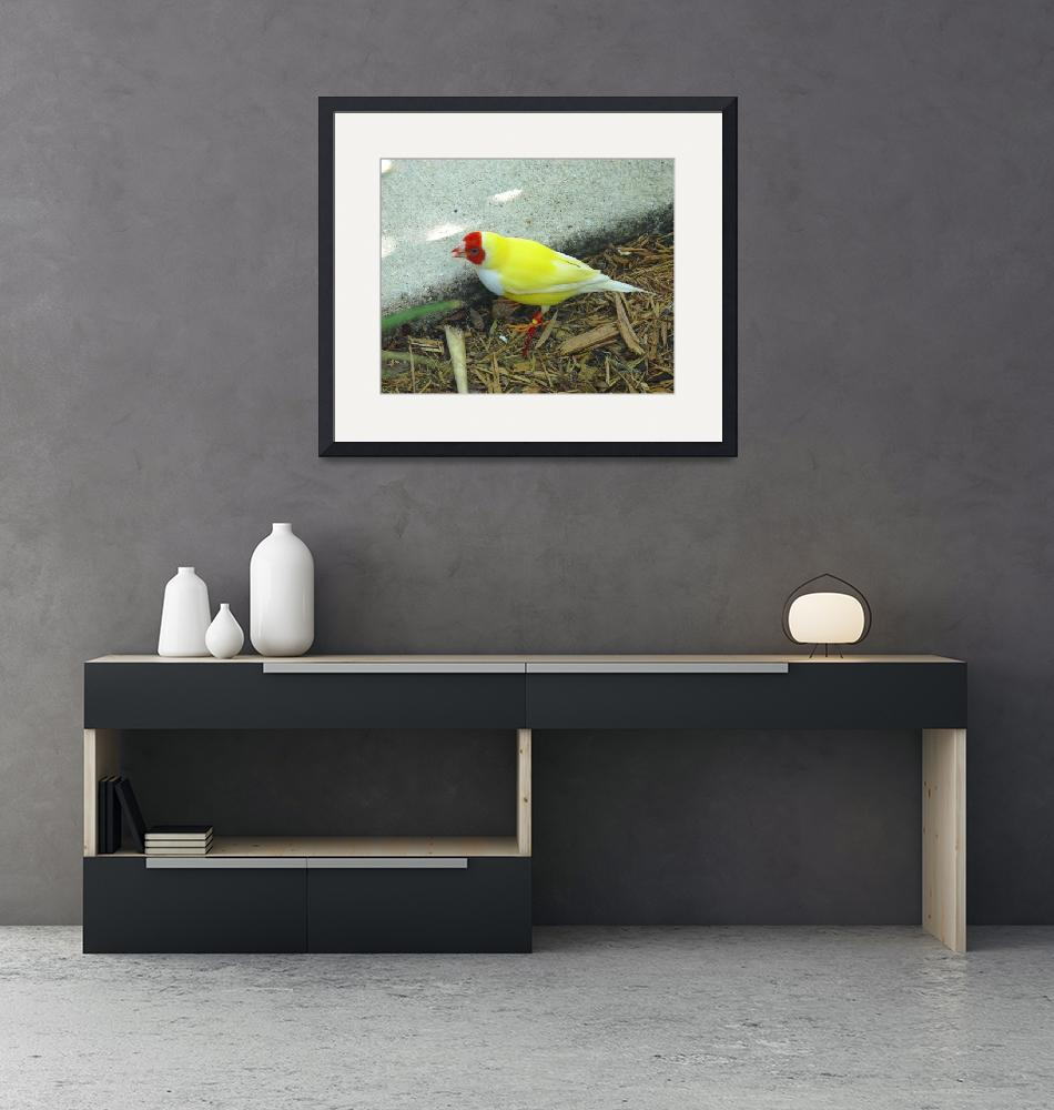 """""""Yellow Lady Gouldian Finch""""  (2008) by stockphotos"""