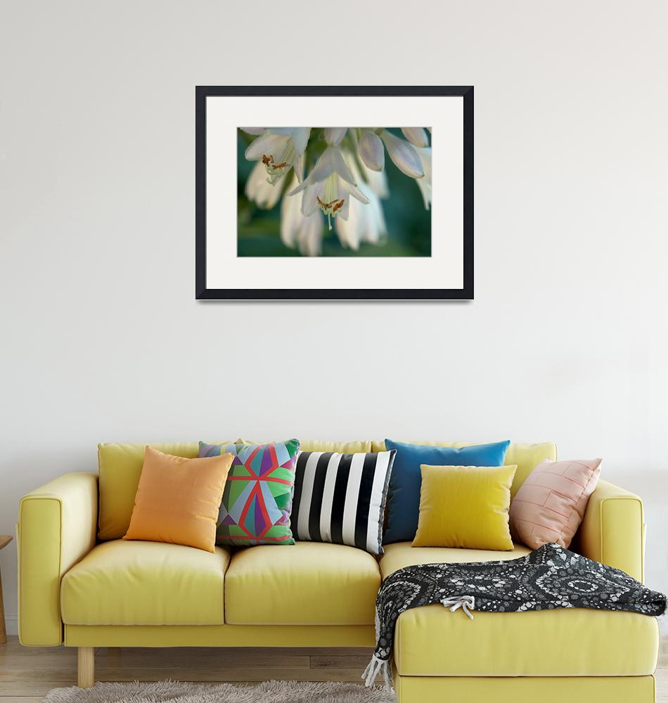 """Hosta Blossoms lV""  (2012) by bavosiphotoart"