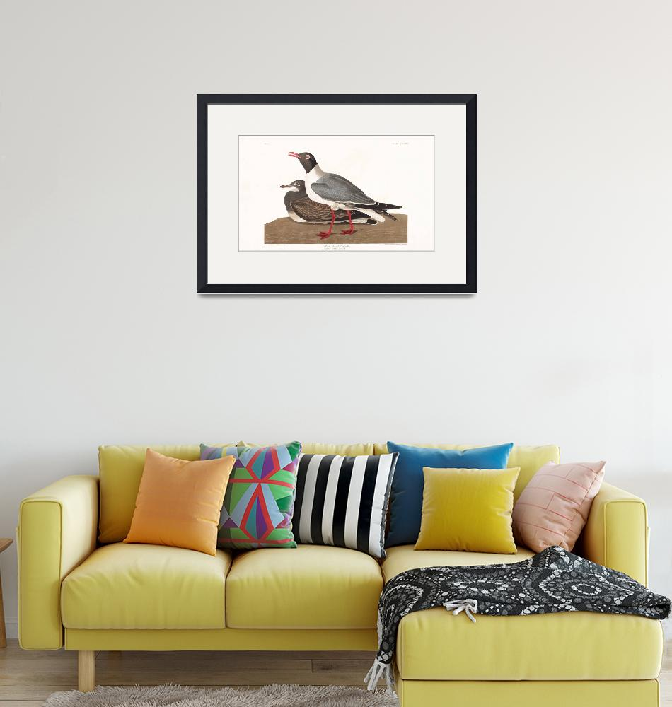 """Black Headed Gull, Plate 314""  by FineArtClassics"
