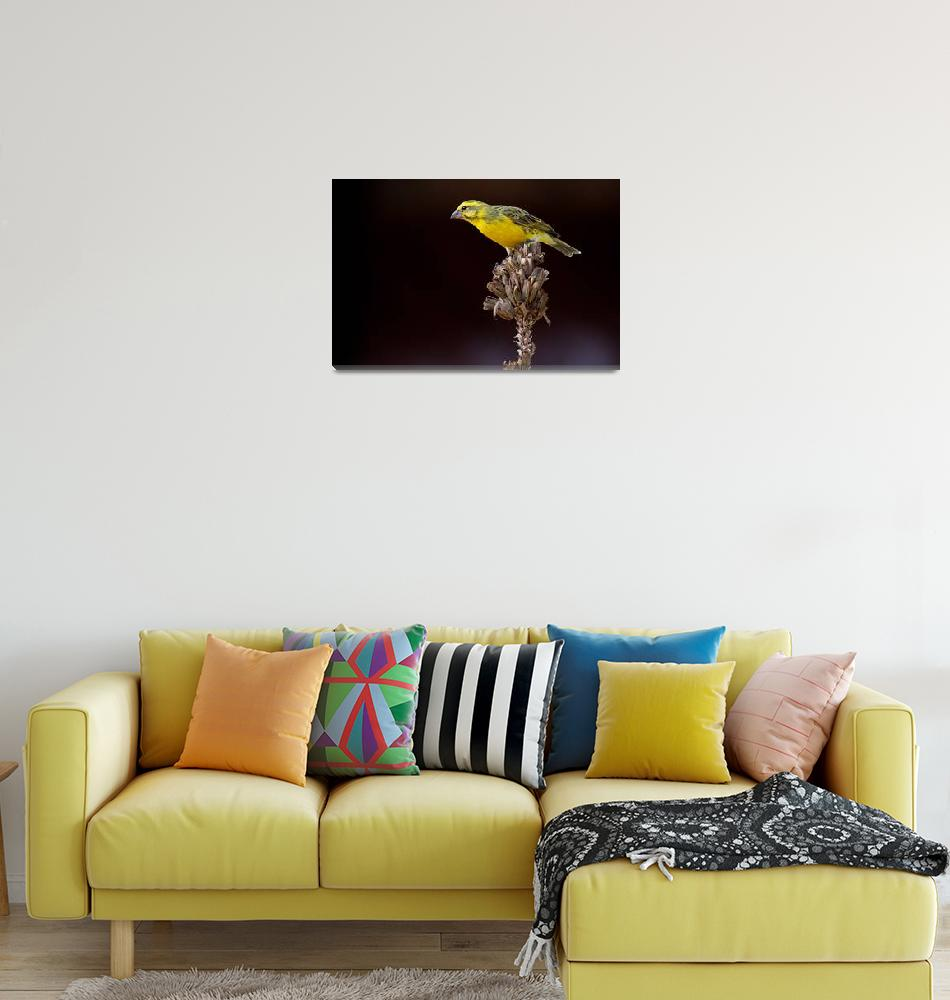 """Yellow Throated Long Claw : Serengeti""  (2011) by SanjayNayar"