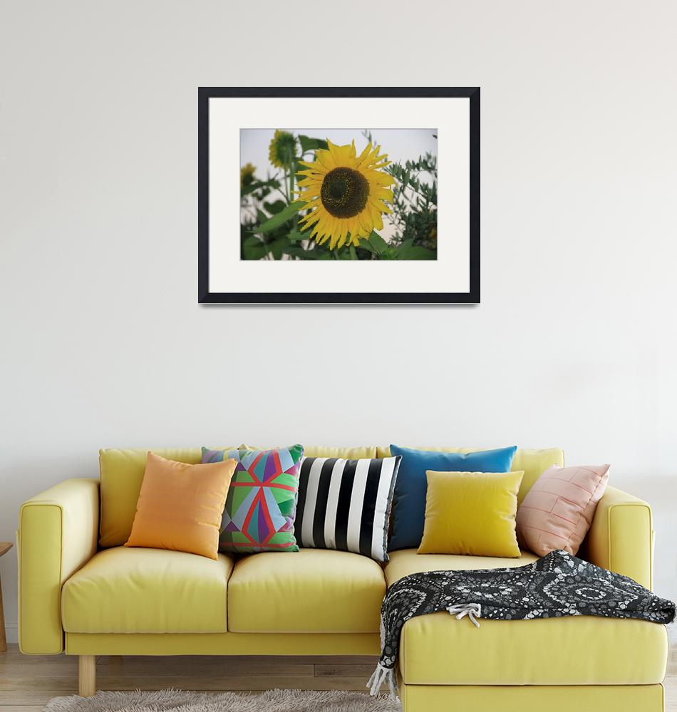 """""""Sunflower Italy""""  (2013) by easyfigure"""