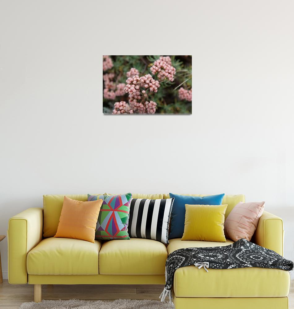 """California Buckwheat - Eriogonum arborescens""  (2011) by Sonja"