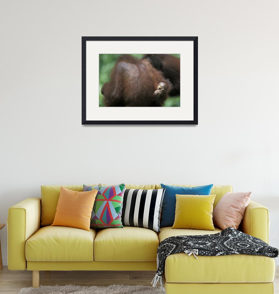 """""""Mother and Child Orangutan in Borneo""""  by Panoramic_Images"""