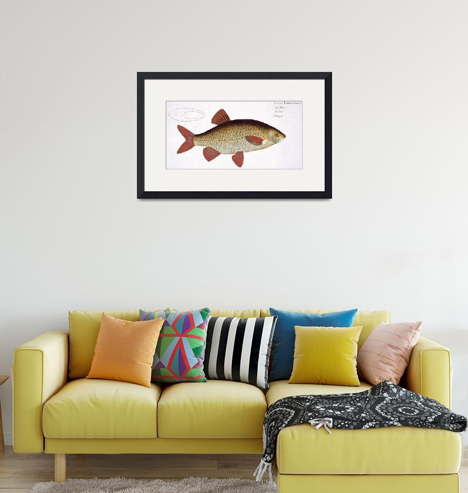 """Red Carp (Cyprinus Erithrophthalmus)""  by fineartmasters"