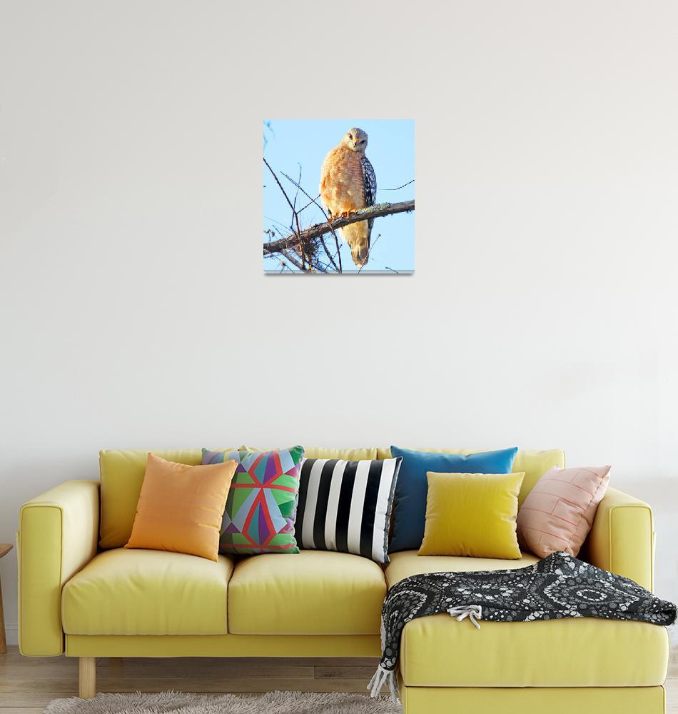 """Red-shouldered Hawk""  (2010) by shelshots"