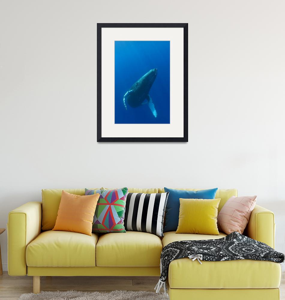 """Hawaii, Humpback Whale""  by DesignPics"