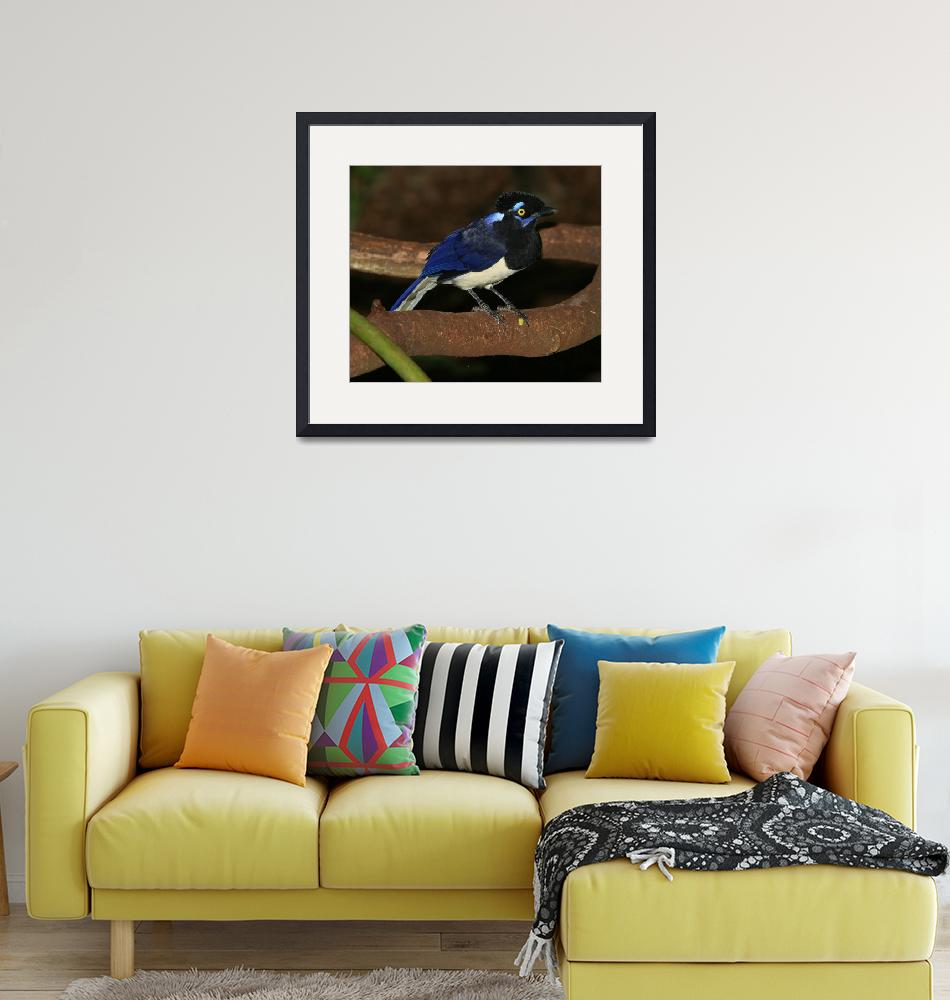 """Plush-crested Jay (Hurraca Común)""  (2008) by birdphotos"