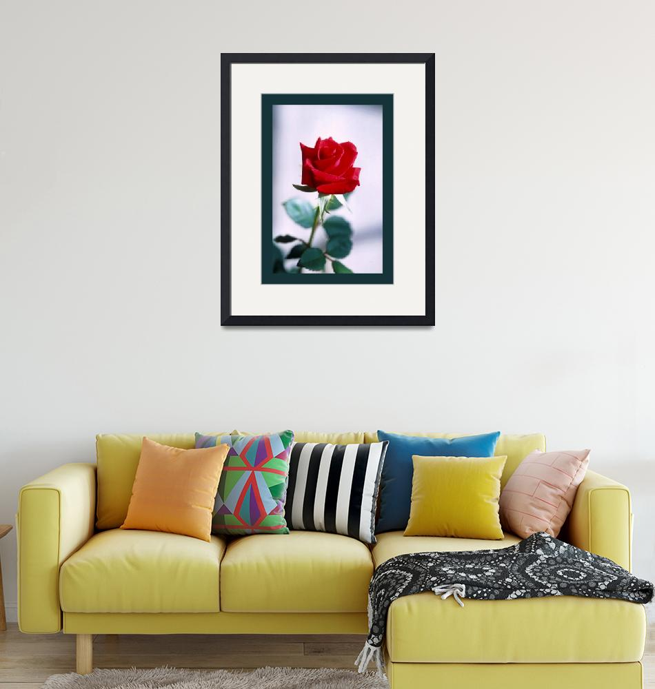 """""""Red Rose on white medium border"""" (2013) by TheNorthernTerritory"""