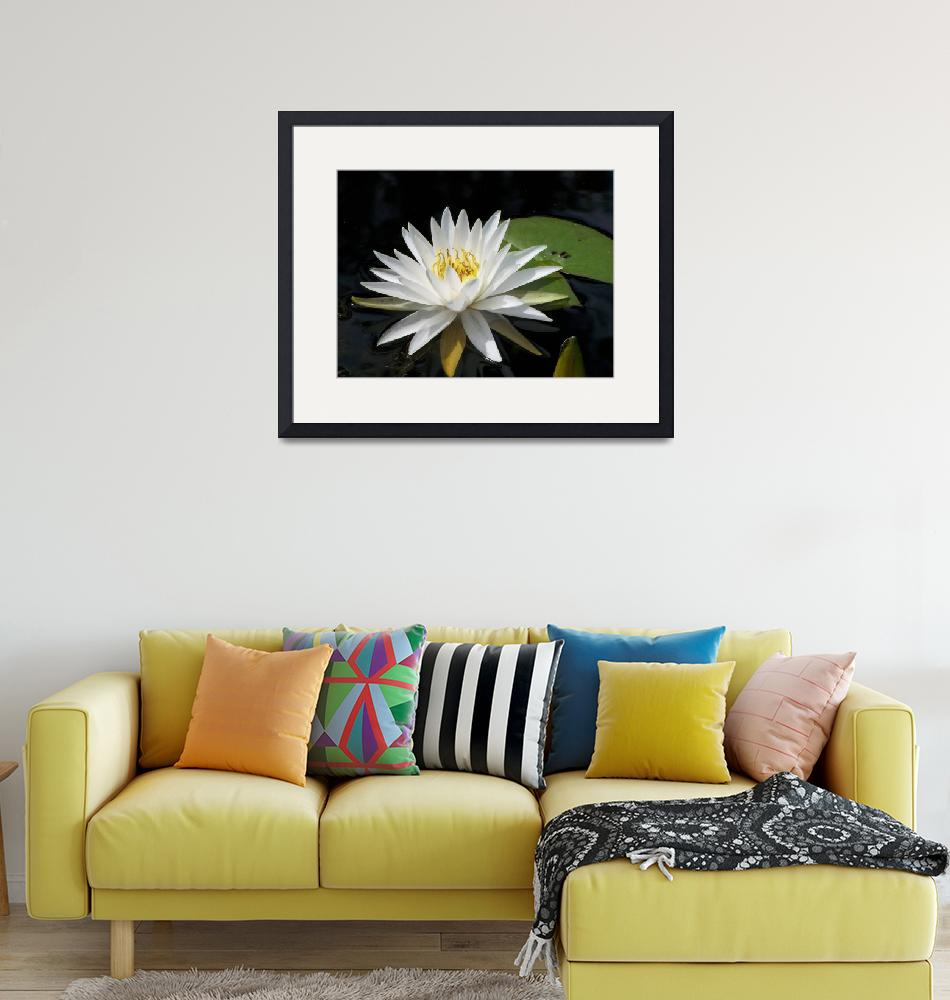 """""""White Water Lily""""  (2009) by rderder"""