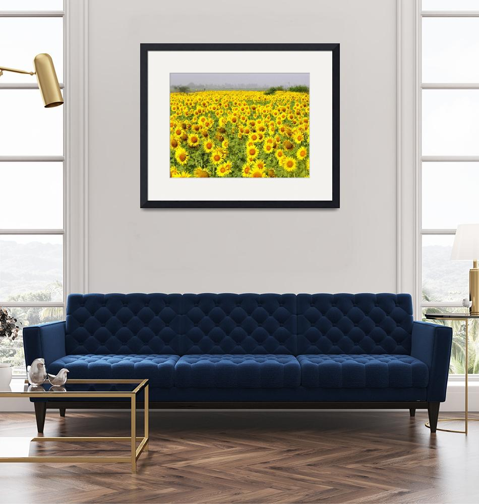 """Field of Sunflowers - sindh sunfowers18""  (2008) by davies"
