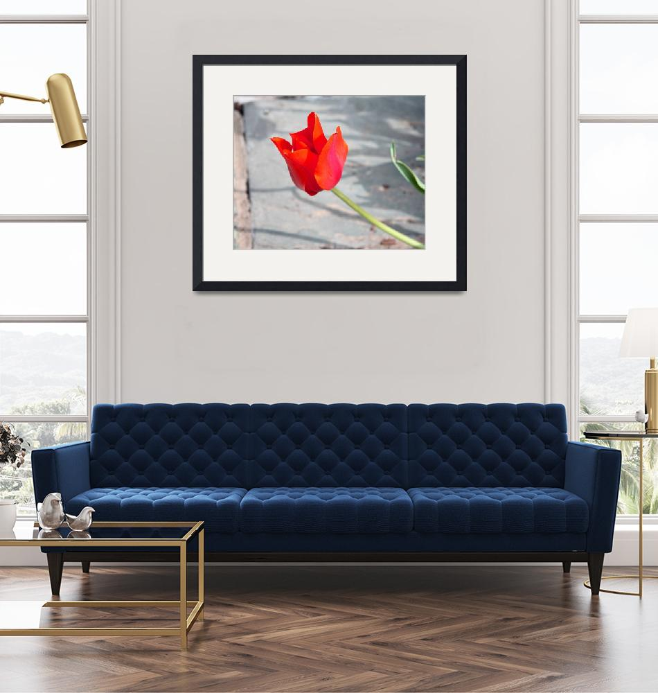 """Single Red Tulip 7863""  (2011) by rayjacque"