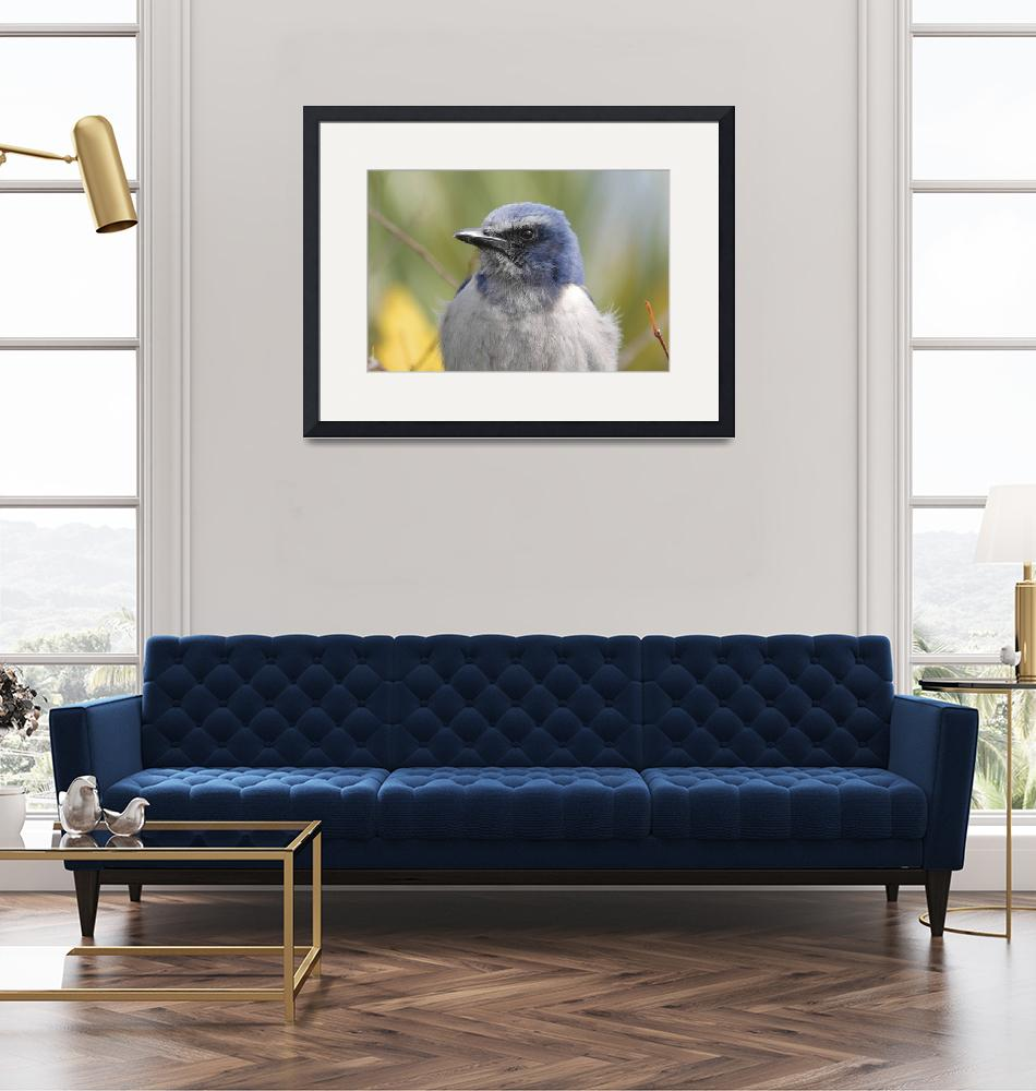 """Western Scrub-Jay Photograph""  by ArtLoversOnline"