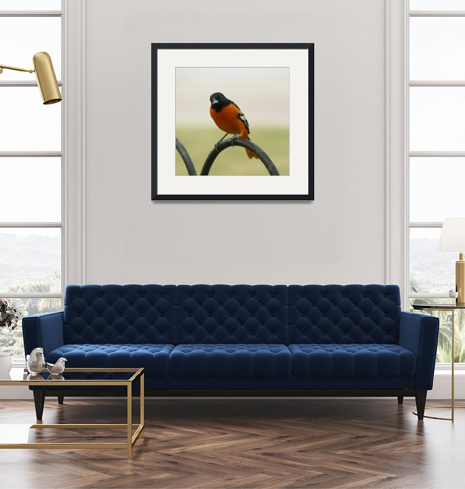 """Baltimore oriole""  by cameragal"