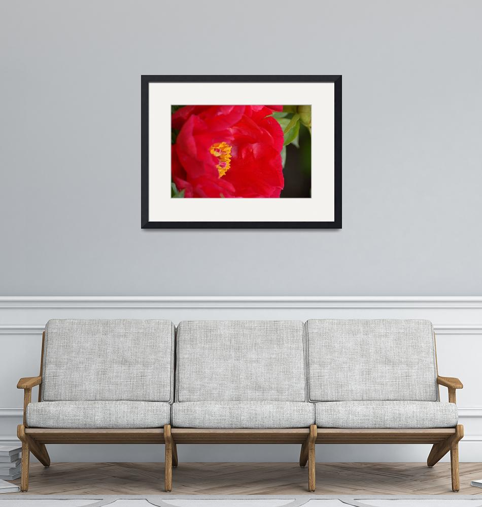 """Red Red Rose Peony""  by RobertLPhillips"