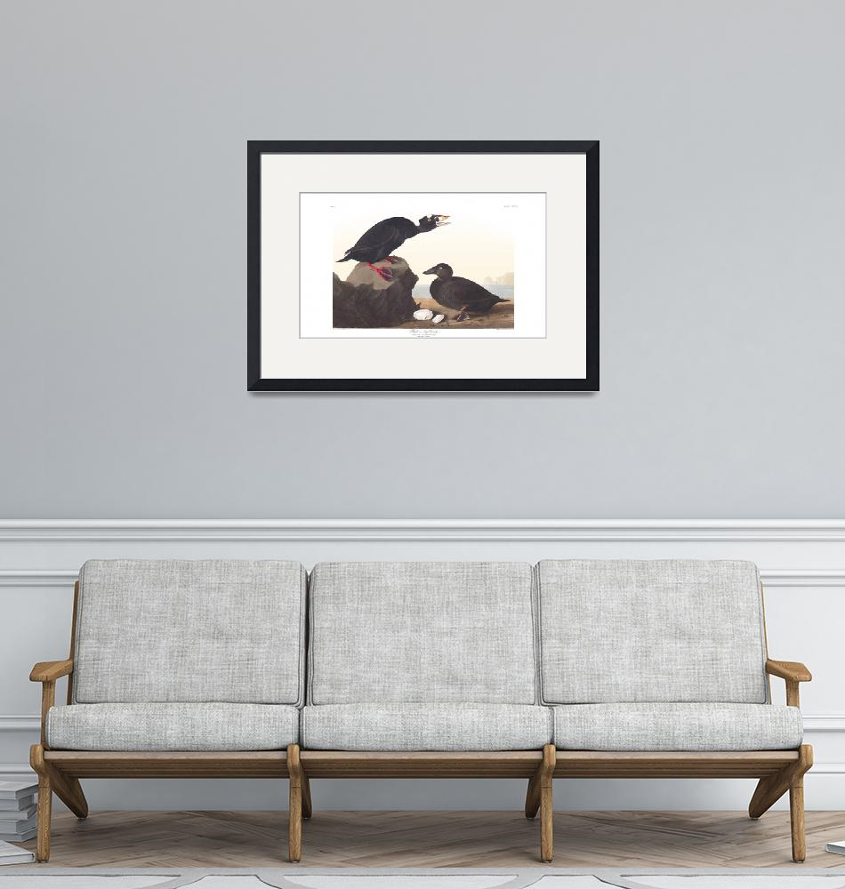"""""""Black or Surf Duck, Plate 317""""  by FineArtClassics"""