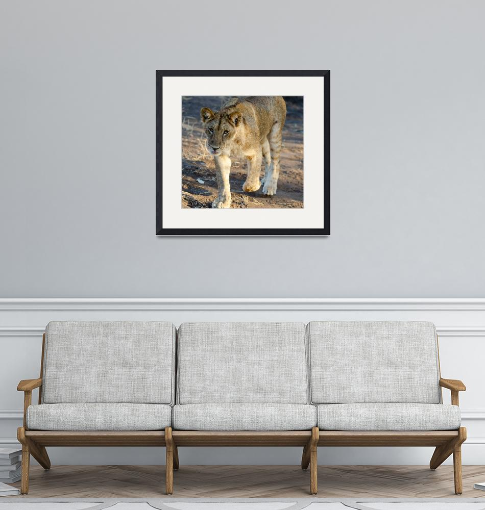 """""""Young Lion Walking with Tongue Out Photograph""""  (2019) by JPRVenturesLLC"""