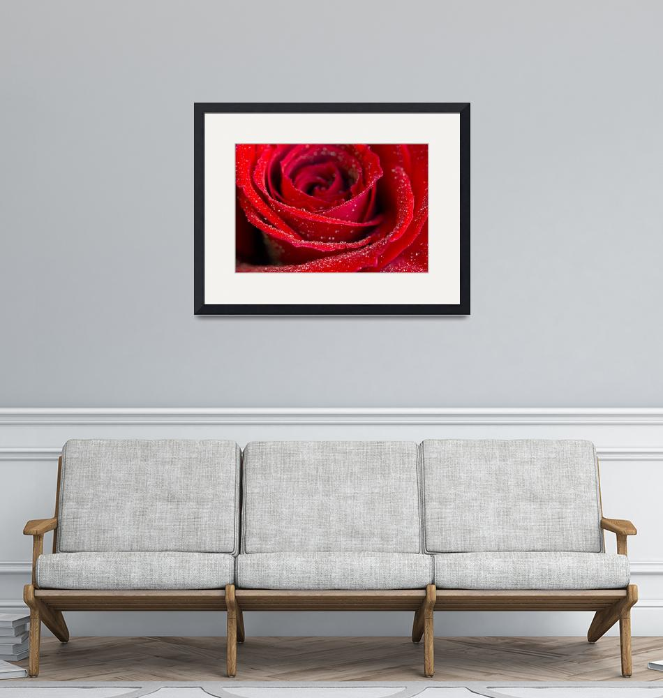 """""""_MG_8129red_rose""""  by johnrochaphoto"""