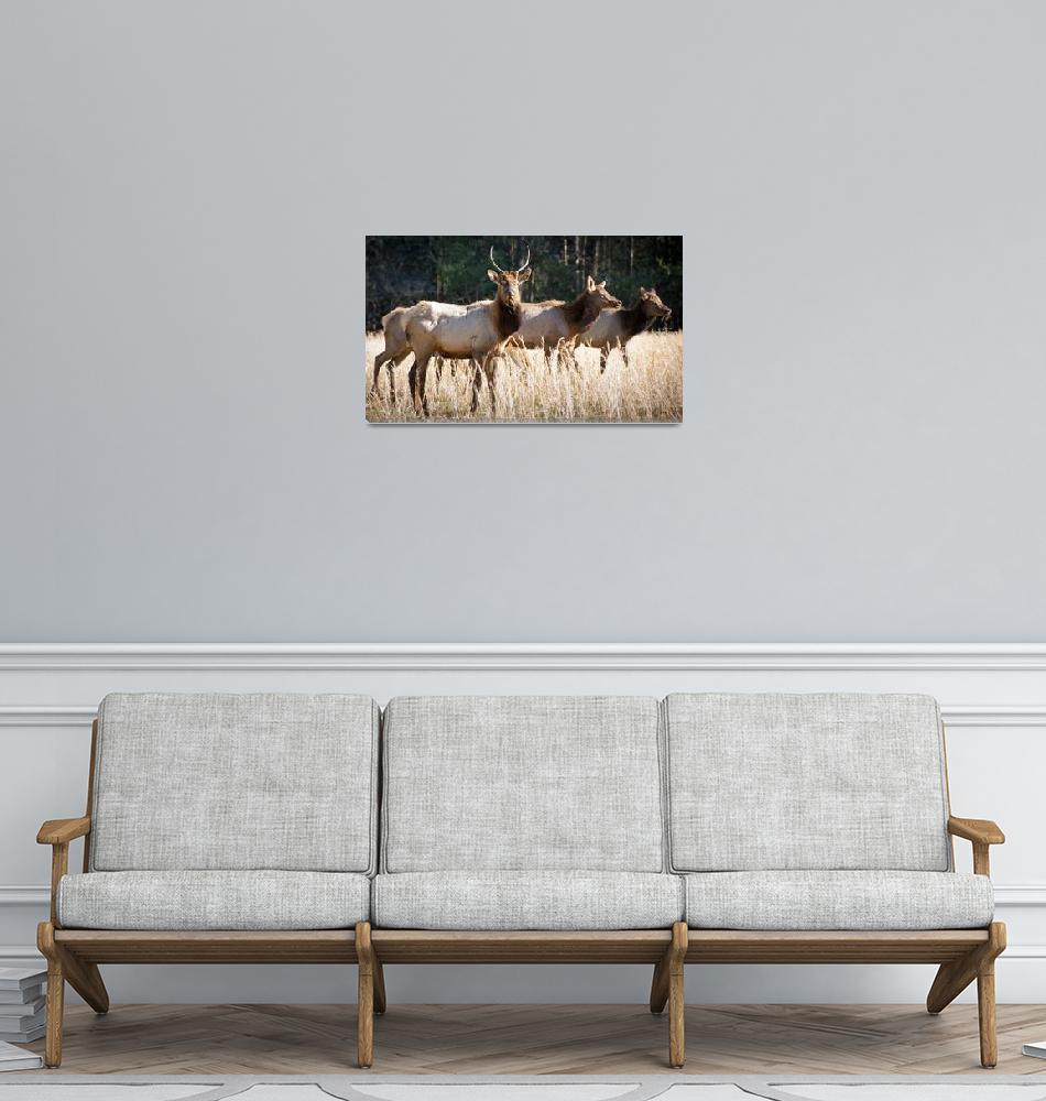 """Cataloochee Elk - Great Smoky Mountains Wildlife""  (2011) by DAPhoto"