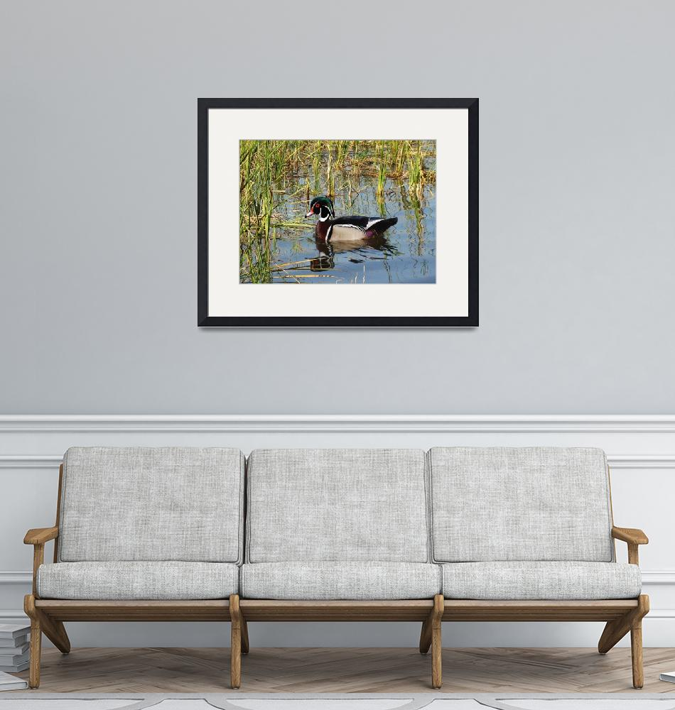 """""""Wood Duck on St. George Lake""""  (2013) by spadecaller"""