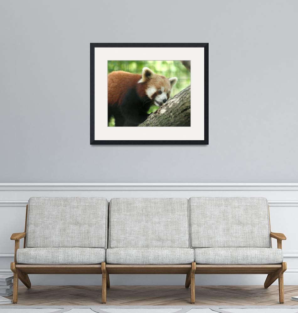 """""""red panda""""  (2011) by MyTreasuredImages"""
