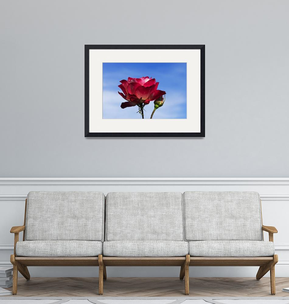 """""""Red-Rose-and-Bud-Blue-Sky-with-Clouds-A010601_1406""""  by maxwelljordan"""