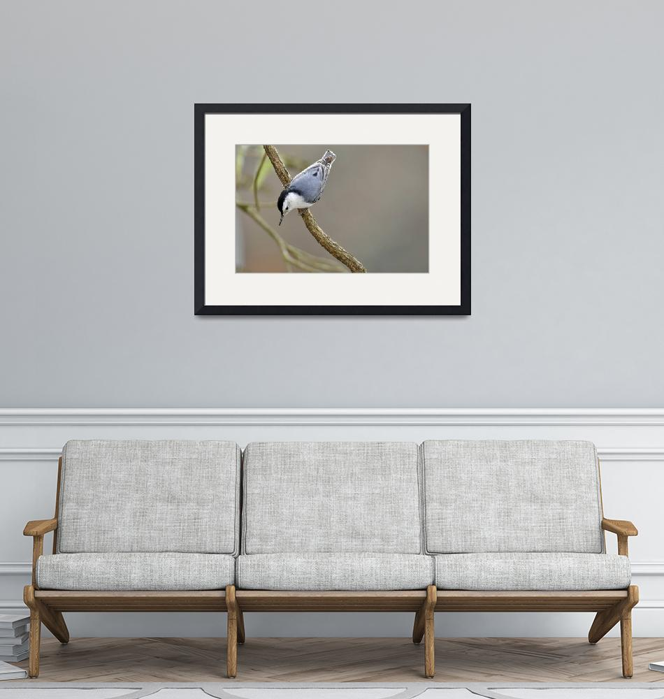 """""""Nuthatch, White Breasted""""  (2011) by LauraM"""