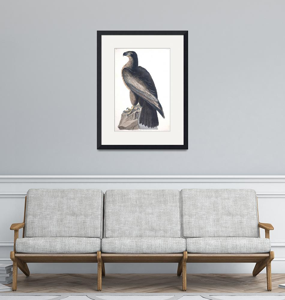 """Bird of Washington, Plate 11""  by FineArtClassics"