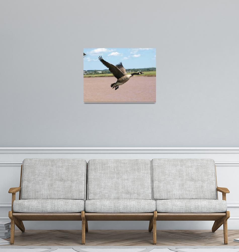 """""""Canada goose (flying)""""  (2009) by Albertphoto"""